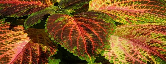 feuilles pour tisane d'ortie