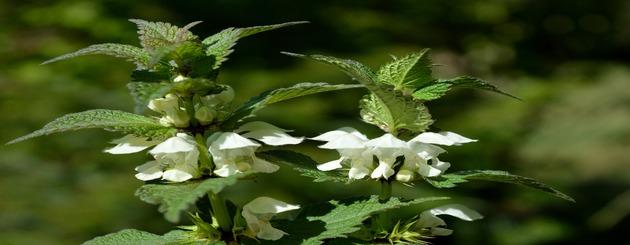 fleurs sur orties