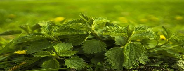 Le savon aux orties naturelles